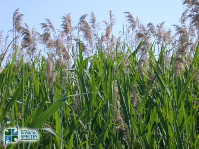 common-reed-photo-credit-wasyl-bakowsky
